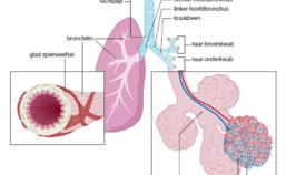 Anatomie van de longen