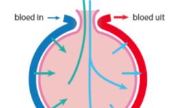Schematische weergave van de opname van zuurstof in het bloed