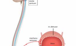 Innervatie van blaas en urethra
